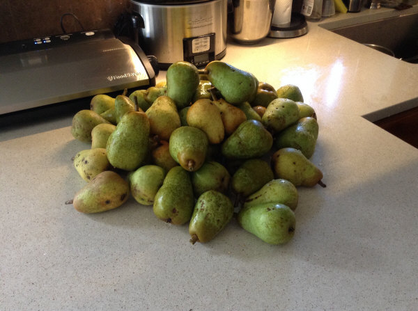 Pear Crop 2016 about 1/4 of crop from one Bartlett tree
